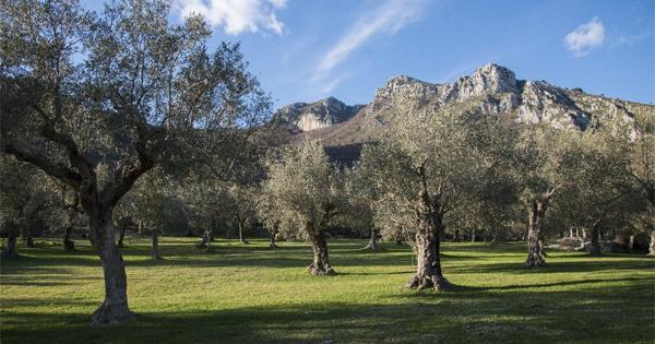 Parco regionale Storico agricolo dell'olivo di Venafro