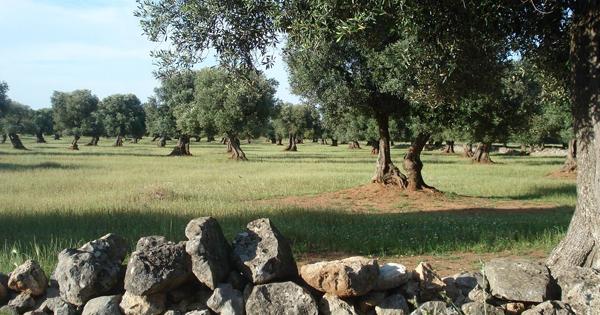 Paesaggio Agrario della Piana degli Oliveti Monumentali di Puglia