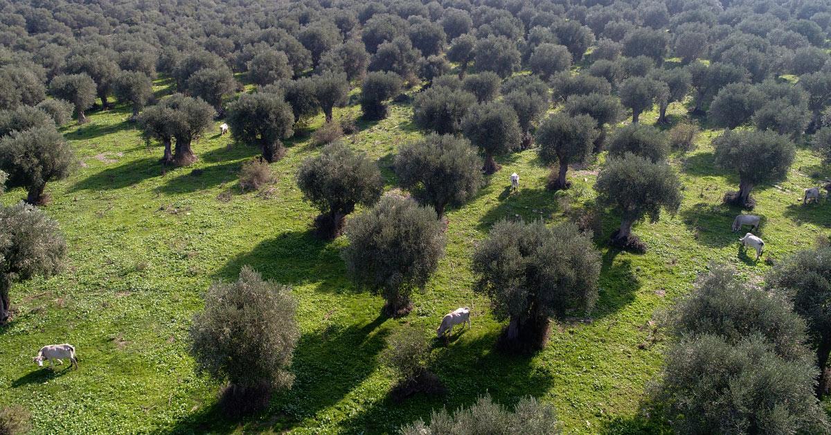 Paesaggio agrario di olivastri storici del FEUDO DI BELVEDERE
