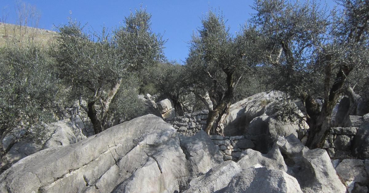 Oliveti terrazzati di Vallecorsa
